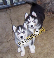 Fresh Stock of German Shepherd,  Rottweiler, Great Dane, Siberian Huskies