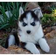 SIBERIAN HUSKY PUPPIES FOR SALE  @ ANSHUKENNEL